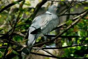 wood pigeon at large